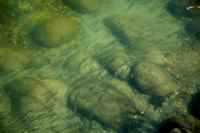 image of minnows swimming near shallow rocks
