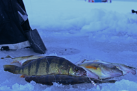 image of Perch caught with a perch talker