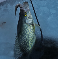 image of big crappie in the icy water