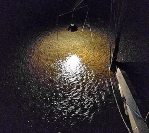 image of emerald shiners running at rainy river
