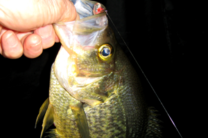 image of crappie