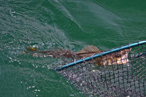 image of walleye coming into landing net