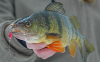 image of big perch with frostee jigging spoon in mouth