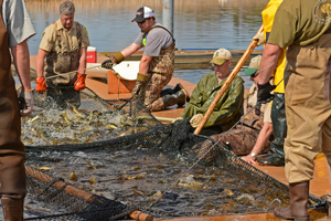 image of walleye egg harvest at Cutfoot sioux