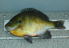 Bluegill 10 Inches On Ruler