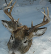 Buck Deer Wolk Kill