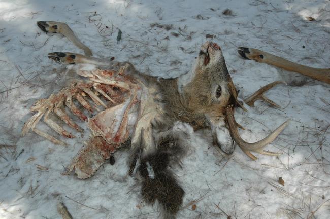 Wolf Attacking Deer