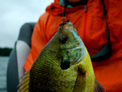 Bluegill Fishing Minnesota