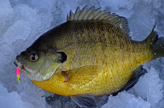 Ice fishing report minnesota fish report february 2013 for Mn ice fishing regulations