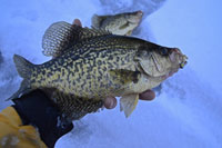 Crappie In Hand Ice Fishing