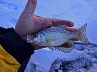 Baby Crappie Caught Ice Fishing
