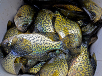 Crappie Fishing Grand Rapids Minnesota