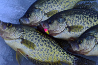 Ice Fishing Crappies Frostee Jig