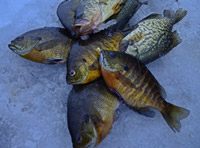 Ice Fishing Minnesota Panfish