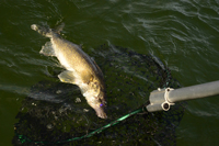 Walleye coming to the landing net.