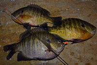 Bluegill Fishing Bowstring Minnesota