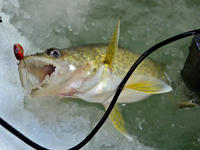 image of Walleye coming out of ice hole