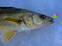 Ice Fishing Walleye Lake Winnie