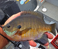 image of giant Bluegill in hand