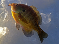 image of Bluegill and bait on ice