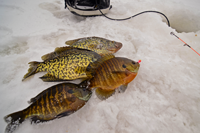 image of Crappies and Bluegills on ice
