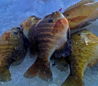 image of Bluegills on the ice