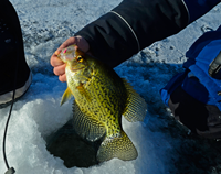 image of Crappie coming out of an ice fishing hole