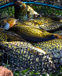 image of Crappies in beckman landing net
