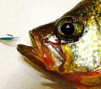 image of Crappie with jig near its face