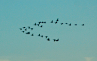 image of ducks flying in flock