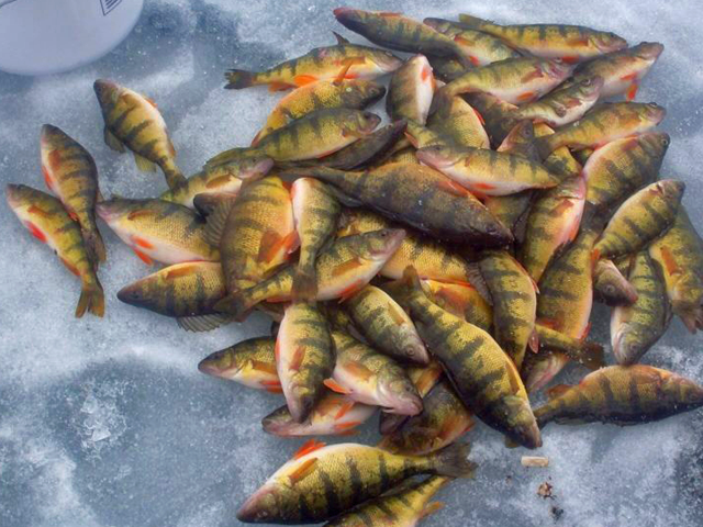 Image gallery ice fishing perch for Murphy s hook house fishing report