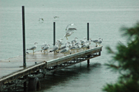 image of seagulls on dock