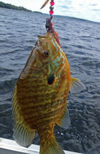 image of Sunfish caught on a spinner rig
