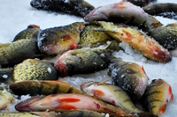 image of Perch and Crappies laying on ice