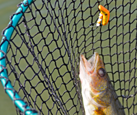 image of Walleye caught on Li'l Guy in net
