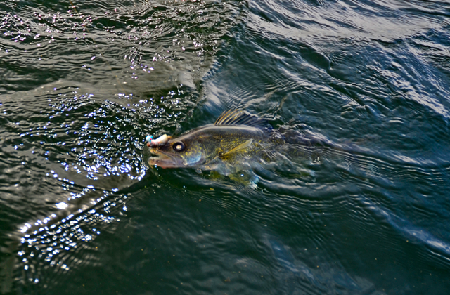 Cutfoot sioux lake winnie winnibigoshish 2014 saved for Lake winnie fishing report