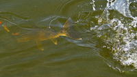 image of Walleye in the water coming toward the boat