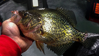 image of Crappie with jig in mouth