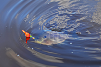 image of Bluegill coming in to the boat