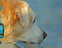image of Yellow Lab in Boat