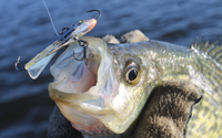 image of Crappie caught on jigging bait