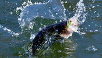 image of crappie splashing in water