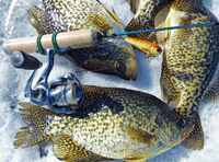 image of crappies caught on a chubby darter