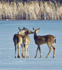 image of deer on ice