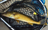 image of walleye in net with slip bobber