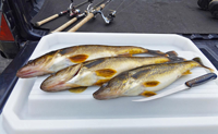 image of Walleyes on fillet table