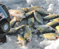 image of Yellow Bass on the ice