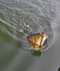 image of Smallmouth Bass on surface