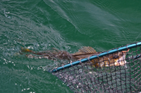 image of Walleye coming to the landing net