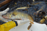 image of Walleyes in trap nets at Cutfoot Sioux Egg Harvest